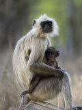 Common Langur with Her Baby, Bandhavgarh Tiger Reserve, Madhya Pradesh State, India Photographic Print by Milse Thorsten