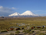 Llamas Grazing before Volcanoes Parinacota and Pomerape, Lauca National Park, Chile, South America Photographic Print by Mcleod Rob