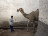 Boy Walks His Camel Through One of the 368 Alleyways Contained Within the City of Harar, Ethiopia Photographic Print by Mcconnell Andrew