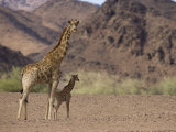 Desert Giraffe with Her Young, Namibia, Africa Photographic Print by Milse Thorsten