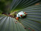 Red Eyed Tree Frog, Costa Rica, Central America Photographic Print by Levy Yadid