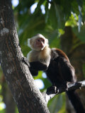 White Faced Capuchin Monkey, Montezuma, Nicoya Peninsula, Costa Rica, Central America Photographic Print by Levy Yadid