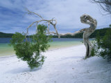 Wind Blown Tree on Beach of Lake Birrabee, Fraser Island, Queensland, Australia, Pacific Photographic Print by Mawson Mark