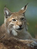 European Lynx, Ranua Wildlife Park, Finland, Scandinavia, Europe Photographic Print by Murray Louise