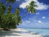 Palm Tree on a Tropical Beach on the Island of Tobago, West Indies, Caribbean, Central America Fotografisk trykk av Miller John