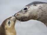 Australian Sea Lion, Seal Bay, Kangaroo Island, South Australia, Australia Photographic Print by Milse Thorsten