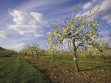 Blossom in the Apple Orchards in the Vale of Evesham, Worcestershire, England, United Kingdom Papier Photo par Hughes David