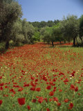 Wild Flowers of Greece - The Cretan Vista Guide to living in North