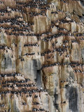 Bird Cliff, Bruennich's Guillemot, Spitzbergen, Svalbard, Norway, Scandinavia, Europe Photographic Print by Milse Thorsten