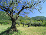 Olive Trees in a Grove in the Nyons District in the Drome Region of France, Europe Photographic Print by Maxwell Duncan