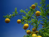 Orange Tree, Valencia, Spain, Europe Photographic Print by Mawson Mark