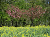 Trees in Blossom in Farmland in the Seine Valley, Eure, Basse Normandie, France, Europe Photographic Print by Hughes David