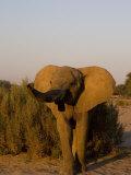 Desert-Dwelling Elephant, Namibia, Africa Photographic Print by Milse Thorsten