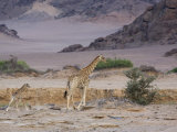 Desert Giraffe with Young, Namibia, Africa Photographic Print by Milse Thorsten