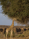 Desert Giraffe, Namibia, Africa Photographic Print by Milse Thorsten