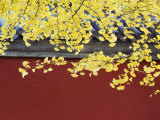 Yellow Autumn Coloured Leaves Against a Red Wall in Ritan Park, Beijing, China Photographic Print by Kober Christian