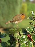 Robin Perching on Post Near Holly Photographic Print by Harding Robert