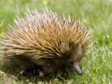 Echidna, Kangaroo Island, South Australia, Australia, Pacific Photographic Print by Milse Thorsten