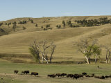Bison Herd, Custer State Park, Black Hills, South Dakota, United States of America, North America Photographic Print by Pitamitz Sergio