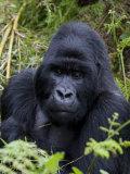 Mountain Gorilla Silverback, Kongo, Rwanda, Africa Photographic Print by Milse Thorsten