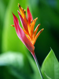Close Up of Heliconia Flower, Costa Rica, Central America Photographic Print by Levy Yadid