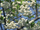 Close-Up of White Spring Blossom on a Tree in London, England, United Kingdom, Europe Photographie par Mawson Mark