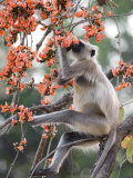 Common Langur, Bandhavgarh Tiger Reserve, Madhya Pradesh State, India Photographic Print by Milse Thorsten