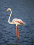 Close-Up of a Flamingo, Side View, Bouches Du Rhone, Provence, France, Mediterranean, Europe Photographic Print by Morandi Bruno