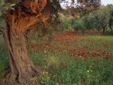 Poppies Beneath an Old Olive Tree, on the Island of Rhodes, Dodecanese, Greek Islands, Greece Fotografisk trykk av Miller John