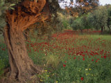 Poppies Beneath an Old Olive Tree, on the Island of Rhodes, Dodecanese, Greek Islands, Greece Photographic Print by Miller John