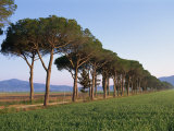 Parasol Pines and Cypress Trees Beside a Green Field, Province of Grosseto, Tuscany, Italy Photographic Print by Morandi Bruno
