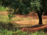 Nets under Olive Trees, Corsica, France, Europe Fotografisk trykk av Miller John