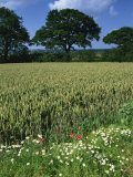 Wheat Field with Wild Flowers on the Edge on Farmland Near Warwick, Warwickshire, England, UK Photographic Print by Hughes David