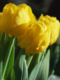 Close-Up of Yellow Tulips at Lisse, Netherlands, Europe Photographic Print by Murray Louise