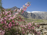Wild Rose Shrub in Blossom with Mountains Beyond, Spiti Valley, Spiti, Himachal Pradesh, India Photographic Print by Simanor Eitan