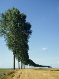 Line of Trees Outside Calais, Pas De Calais, France, Europe Photographic Print by Hodson Jonathan