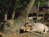 Ox in Village of Bonhoogly, Parganas, West Bengal, India Photographic Print by Maxwell Duncan