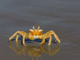 Ghost Crab, Atlantic Ocean, Namibia, Africa Photographic Print by Milse Thorsten
