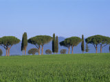 Landscape of Green Field, Parasol Pines and Cypress Trees, Province of Grosseto, Tuscany, Italy Photographic Print by Morandi Bruno