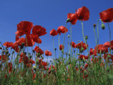 Low Angle View Close-Up of Red Poppies in Flower in a Field in Cambridgeshire, England, UK Photographic Print by Mawson Mark