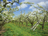 Pear Blossom in Orchard, Holt Fleet, Worcestershire, England, United Kingdom, Europe Photographic Print by Hunter David