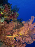 Seafan and Soft Coral Photographic Print by Murray Louise