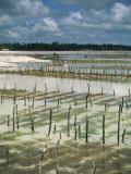 Seaweed Crop, Zanzibar, Tanzania, East Africa, Africa Photographic Print by Pate Jenny