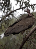 Vulture Rests in a Tree in the City of Harar, Ethiopia, Africa Photographic Print by Mcconnell Andrew