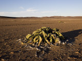 Welwitschia, Welwitschia Mirabilis, Messum Crater, Namibia, Africa Photographic Print by Milse Thorsten