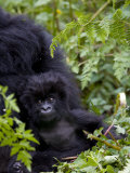 Baby Mountain Gorilla Eating Leaves, Rwanda, Africa Photographic Print by Milse Thorsten