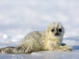 Ringed Seal Pup, Billefjord, Svalbard, Spitzbergen, Arctic, Norway, Scandinavia Photographic Print by Milse Thorsten