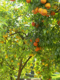Orange and Lemon Trees in the Alcazar Gardens, Cordoba, Andalucia, Spain, Europe Photographic Print by Newton Michael