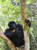 Mountain Gorilla Eating Tree Bark, Kongo, Rwanda, Africa Photographic Print by Milse Thorsten