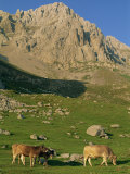 Cattle on High Pasture in the Central Massif of the Picos De Europa Mountains in Cantabria, Spain Photographic Print by Maxwell Duncan